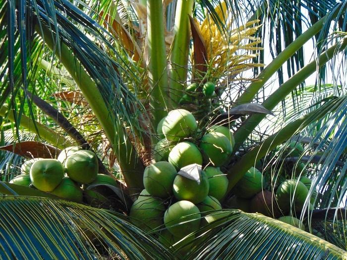 Ảnh đẹp Cây Dừa trái sum suê (Trĩu quả) P1- Ảnh Dừa đẹp Yescoco không thể bỏ lỡ
