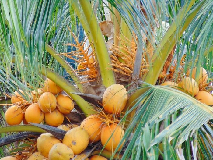 Ảnh đẹp Cây Dừa trái sum suê (Trĩu quả) P2- Ảnh Dừa đẹp Yescoco không thể bỏ lỡ