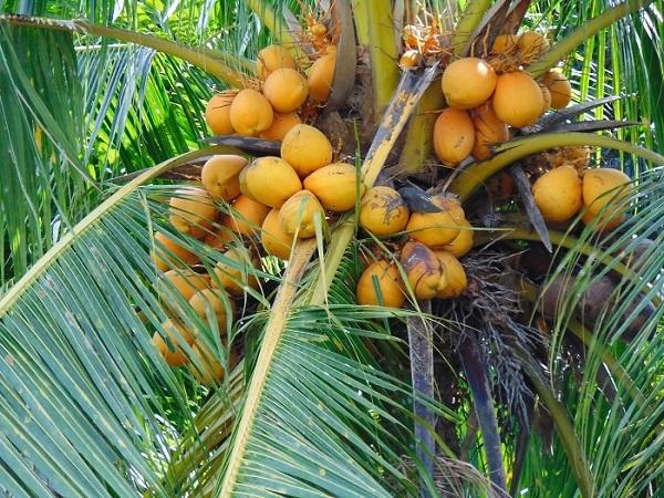 Cây dừa thích nghi tích cực với tác động của Biến đổi khí hậu